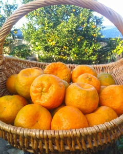 Emperor mandarins are an old, but popular variety